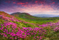 Magic Pink Rhododendron Flowers In The Mountains. Stock Photo - 42500930