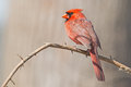 Male Northern Cardinal Royalty Free Stock Photography - 42541867
