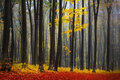 Foggy Mystic Forest During Fall Royalty Free Stock Photo - 42566525