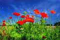Beautiful Poppies. Stock Images - 42587394