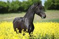 Gorgeous Black Friesian Horse In Colza Field Stock Images - 42596334