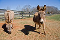 Mini Donkeys Royalty Free Stock Image - 4262446