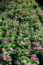 Periwinkles In The Greenhouse Royalty Free Stock Image - 4265626