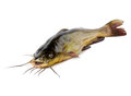 Catfish Stock Images - 42610824