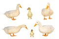 Duck Royalty Free Stock Images - 42611629