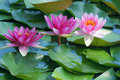 Water Lily Royalty Free Stock Images - 42616109