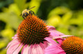 Bumble Bee On A Purple Coneflower Stock Photo - 42628850