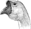 Goose Head Royalty Free Stock Images - 42629979