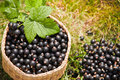Berries Black Currant In The Basket Stock Photo - 42645820