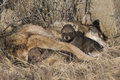 Timber Wolf With Pups Stock Photography - 42659122