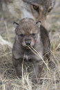 Wolf Pup With Mother In Background Royalty Free Stock Image - 42659616