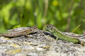 Two Lizards On A Stone Royalty Free Stock Photo - 42666985