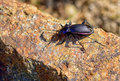 Ground Beetle Royalty Free Stock Image - 42671896