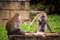 Adult Macaque Monkey Sitting Eating Fruit Royalty Free Stock Photos - 42680868