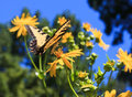 Butterfly Drinking Nectar On Flower Stock Images - 42689354