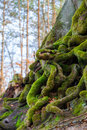 Closeup Of Tangled Tree Roots Covered With Green Moss Stock Photos - 42690583