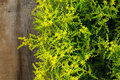 Yellow Blooming Sedum Small Star Shaped Flowers Rockery Garden P Stock Photography - 42692072