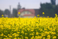 Yellow Field Of Rape Royalty Free Stock Photos - 4270378