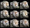 Portraits Of Chewing Sheep Stock Images - 4273994
