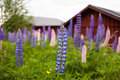 Lupines In The Summer. Royalty Free Stock Photos - 42739048