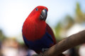 Eclectus Parrot Stock Photography - 42746202