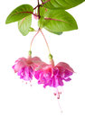 Blossoming Beautiful Colorful Fuchsia, Isolated On White Royalty Free Stock Photos - 42747688
