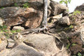 Pine Roots On A Rock Stock Image - 42749301