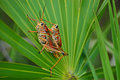 Grasshopper Love 1 Royalty Free Stock Images - 4284429