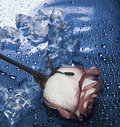 Heart From Ice With Rose Royalty Free Stock Photo - 4286005