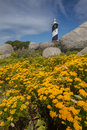 Yellow Flowers With Lighthouse In The Background Stock Photography - 42820332