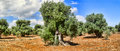 Olive Trees. Royalty Free Stock Images - 42874009