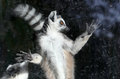 Ring-tailed Lemur (Lemur Catta) Stock Photos - 42884033