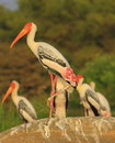 Painted Stork Stock Image - 4290861