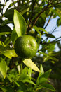 Lime Tree Stock Images - 4297384