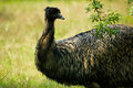 Close Up Of Emu Bird Royalty Free Stock Photos - 4298638