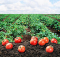 Harvest Of Ripe Red Tomato On The Ground Stock Image - 42900161