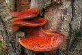 Beefsteak Fungus Stock Photo - 42904090