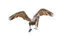 Brown Pelican Royalty Free Stock Image - 42906456