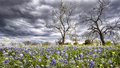 Bluebonnets In The Texas Hill Country Stock Image - 42916161