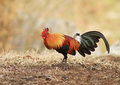 Red Jungle Fowl Royalty Free Stock Image - 42933326