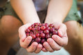 Hands Holding Fresh Air Gooseberry Fruit Stock Images - 42941054