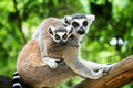 Ring-tailed Lemur Royalty Free Stock Photography - 42964137
