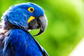 Hyacinth Macaw Stock Photos - 42967443