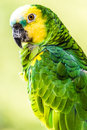 Yellow-headed Amazon Bird Stock Photo - 42967450