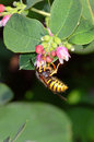 Wasp Taking Pollen From A Snowberry Flower Head Royalty Free Stock Photo - 42975615