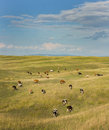 Cows Grazing Stock Images - 42980744