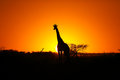Giraffe At African Sunset Stock Image - 42985121