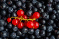Freshly Picked Blueberries And Redcurrant Royalty Free Stock Image - 42985486