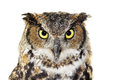 Close-up Of A Great Horned Owl On White Royalty Free Stock Photos - 42985798