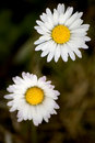 Two Daisies Flowers Royalty Free Stock Image - 4308606